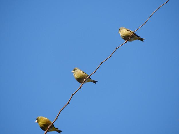 写真: 3羽のカワラヒラ