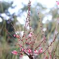 自然体験観察園の梅