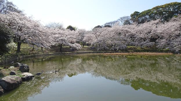 小池淵の桜