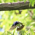 写真: 枝渡り