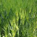 IMG_4659 麦畑