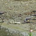 ソリハシシギの群れ