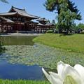 阿地池のハス