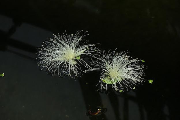 水面のサガリバナ