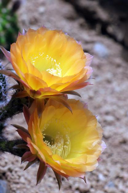 エキノプシスSP黄色花