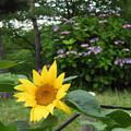 ヒマワリと紫陽花
