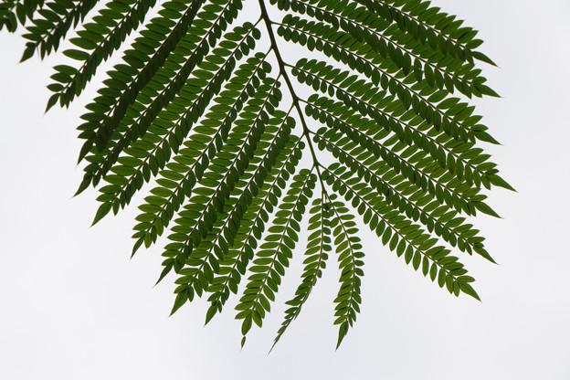 ジャガランダの葉