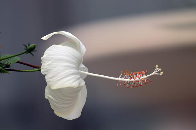 Photos: ハイビスカス「ピンク・バタフライ(白花種)」