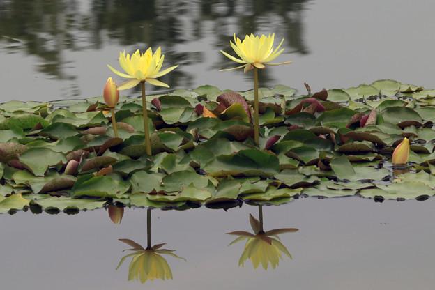 熱帯睡蓮 黄色