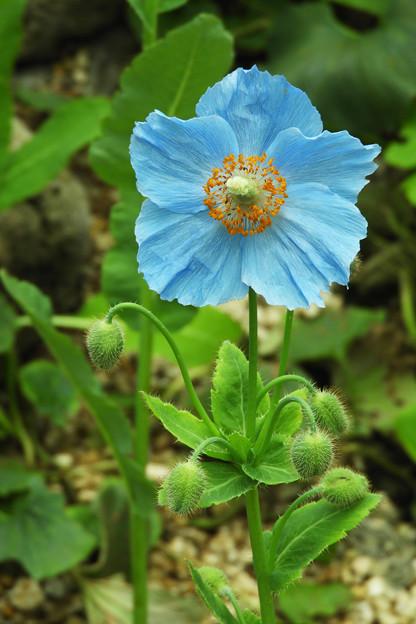 花弁5枚のメコノプシス