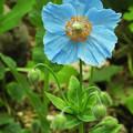 Photos: 花弁5枚のメコノプシス