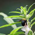 Photos: 金ゴマの花とクマチャン