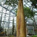 フニーバオバブの樹