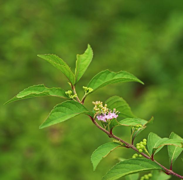 Photos: 紫式部の花