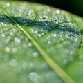 Photos: 雨上がりの葉っぱ