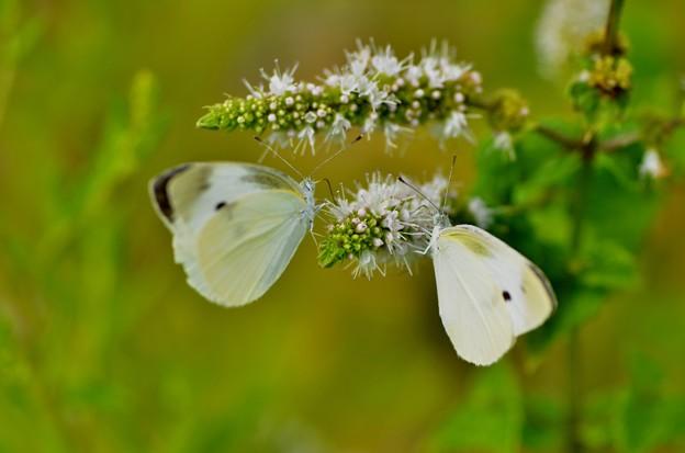 紋白蝶~二羽