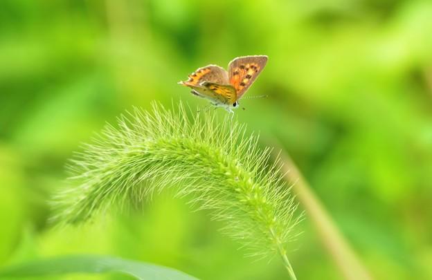 ベニシジミ蝶~ねこじゃらし