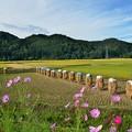 Photos: 稲刈り