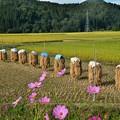 Photos: 稲刈り2