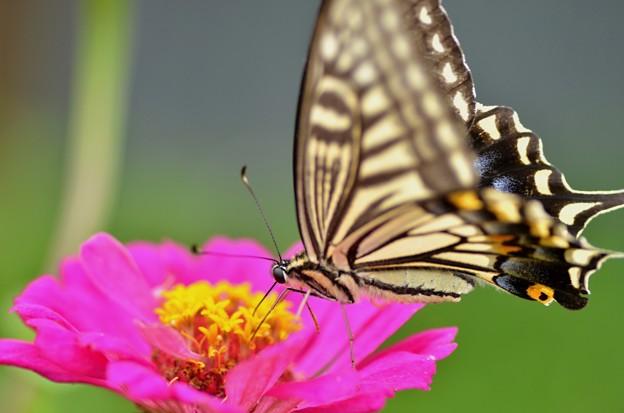 アゲハ蝶~ピンク