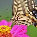 アゲハ蝶~ぴんく