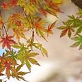 Photos: 薄紅色