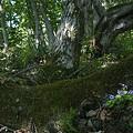 遅い春~すみれとブナの木