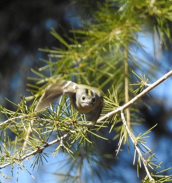 ヒマラヤ杉にキクイタダキ