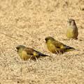 写真: 10羽中の3羽