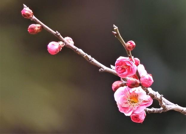 咲き始め(紅梅)