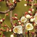 写真: 咲き始め(白梅)
