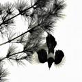 Photos: カササギ飛翔