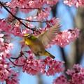 オカメ桜にメジロ