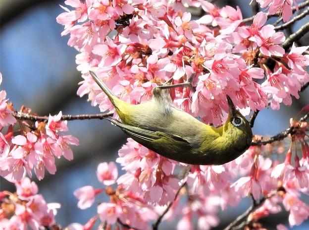 オカメ桜に~