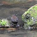 写真: 箕面の渓流でー3