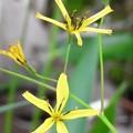 写真: 黄色い小さな花