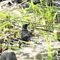 写真: コゲラの水浴び