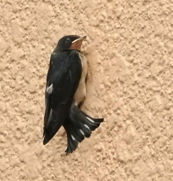 写真: ツバメ幼鳥