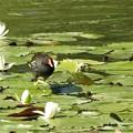 写真: 蓮にバン