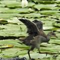 写真: バンの幼鳥3