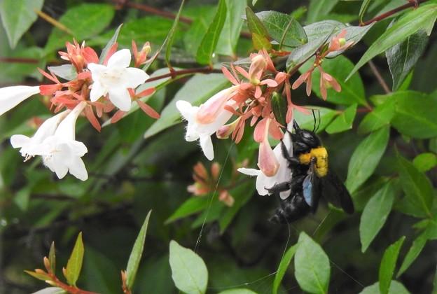 アベリアにクマバチ