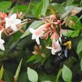 写真: アベリアにクマバチ