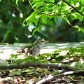 写真: ウグイスの幼鳥?