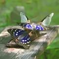 写真: 国蝶オオムラサキ