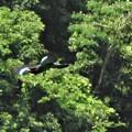 写真: ブッポウソウ飛翔1