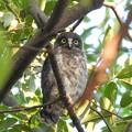 写真: 巣立ちの雛A-1