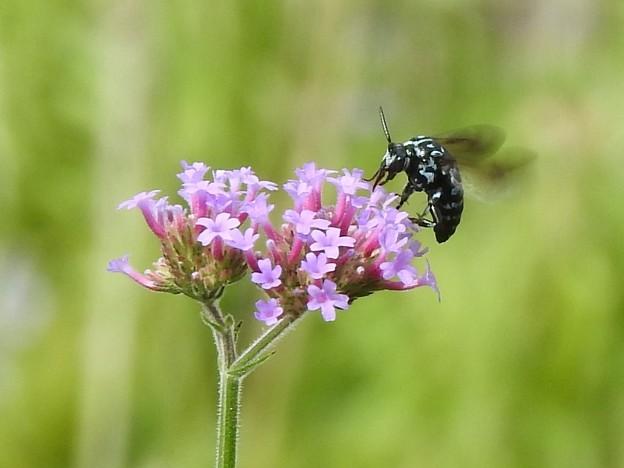 写真: 幸せを呼ぶ青い蜂1