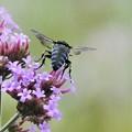 Photos: 幸せを呼ぶ青い蜂2