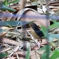 竹藪の中のコルリ2