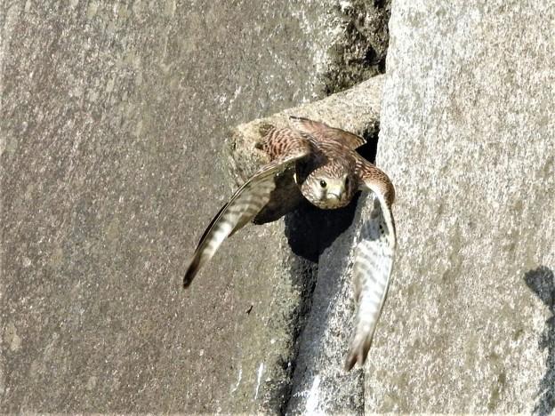 お堀のチョウゲンボウー3
